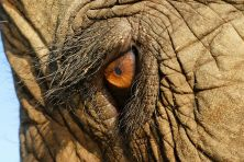 640px-elephas_maximus_eye_closeup